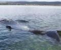 Австралийцы взорвали горбатого кита - lenta.ru